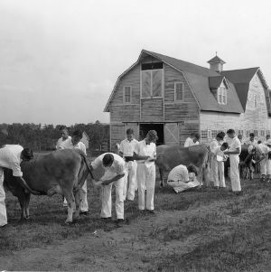 Dairy judging teams at work during the 1932 [4-H] Short Course; the barn stood on the site of the present-day [Reynolds] Coliseum.