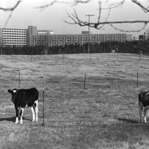 View of cows in front of North Carolina State University dormitories.