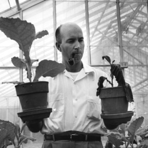 Joseph N. Sasser, Professor of Plant Pathology, at work in greenhouse