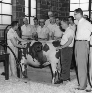 Men watching a demonstration of North Carolina State College's fistulated cow, Farm and Home Week, June 1956.