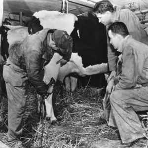 Three men examining cow's hind leg