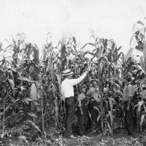 Corn grown for grain