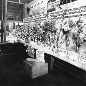Cotton exhibit in store of Snow Hill
