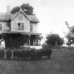 Two men and group of swine in front of the North Carolina State College Agricultural Experiment Station, May 28, 1921
