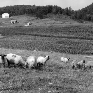 View of sheep grazing in field at agricultural experiment station, West Jefferson, North Carolina.