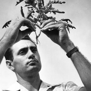 Robert Phillip Upchurch, professor of Crop Science at North Carolina State College examining a plant.