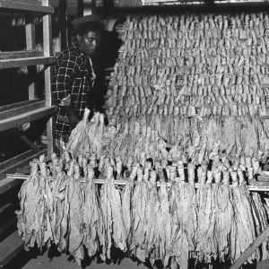 Man unloading sticks of tobacco from machine at Tobacco Redrying Plant in Rocky Mount, NC
