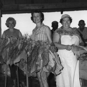 Handing and stringing sticks of tobacco before hanging them on a rack