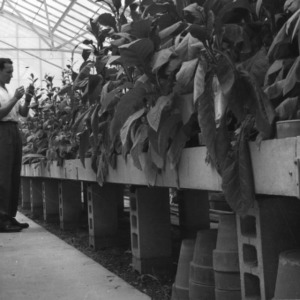 Man examining experimental tobacco plants in greenhouse