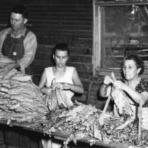 Grading tobacco, September 29, 1954.