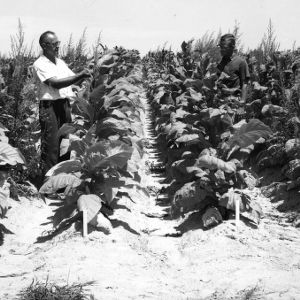 Dr. Glenn Klingman and assistant in tobacco field studying tobacco weed control, July 17, 1961