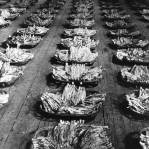View of rows of baskets containing tobacco that has been graded and bound into bundles.