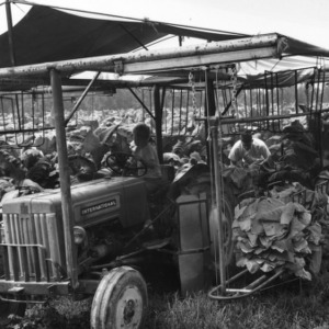 "Tobacco harvesting machine in tobacco field with young boy driving and man in rear ""priming"" tobacco leaves."