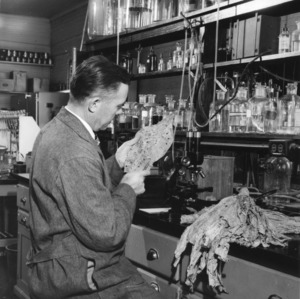 Man in laboratory possibly at North Carolina State College examining tobacco leaf.
