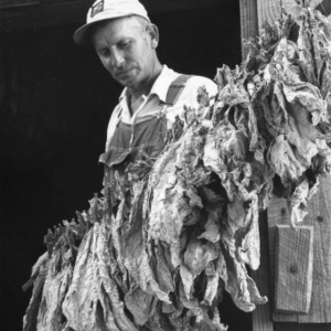 "Farmer checking to see if tobacco is ""cured,"" Wake County, September 1960."