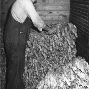Packing tied bundle tobacco in strip room, September 27, 1954.