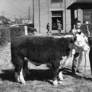 4-H club member from Buncombe County holding his cow