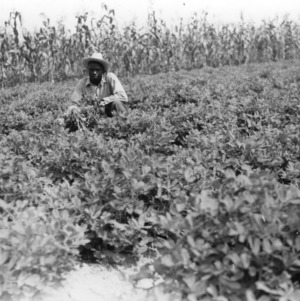 Wilson County - July 30, 1940. Levi Simmons Menchew Club Member of Wilson County, has one of the best peanut projects I have seen this year. From the proceeds of these projects he hopes to stay in college this year