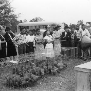 4-H sale selling chickens in Mecklenburg