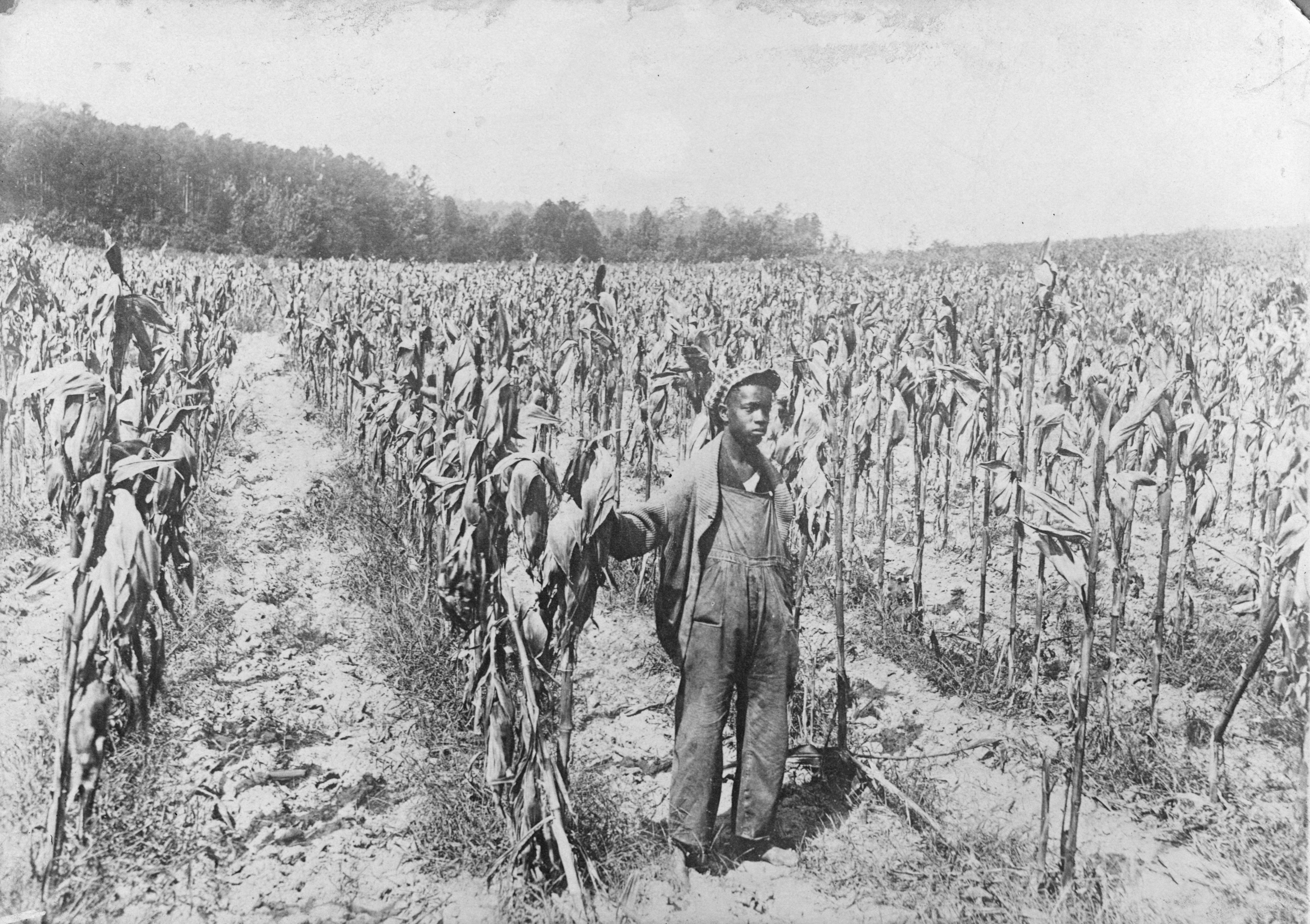 Herman Peebles of Wake County, a state prize winner, standing in a corn field