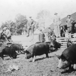 Group of men observing a pig club exhibit