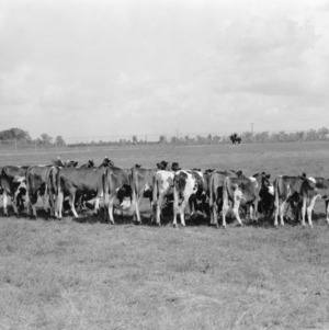 Champion Guernsey group in the 4-H Club classes exhibited by Davidson County club members at the North Carolina State Fair 1931
