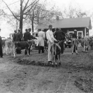 Showing some of the calves at the first 4-H sale and distribution held in Statesville, April 21, 1934