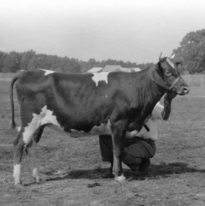 Junior and Grand Champion Guernsey in the 4-H Club Classes at the 1930 N.C. State Fair