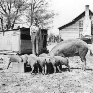 E. Whitley of Stanly County, North Carolina feeding pigs
