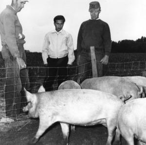 Three men observing pigs