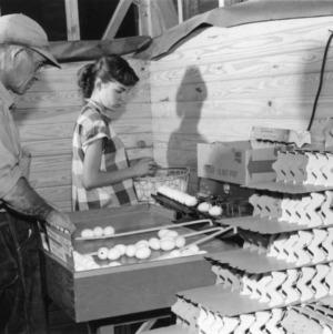 4-H club girl sorting eggs for packaging