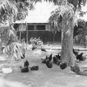 Chickens in yard, Vance County, North Carolina, 4-H Club