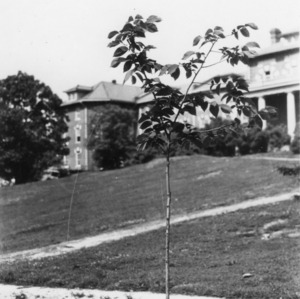 4-H Club tree, planted during the 1930 4-H Short Course
