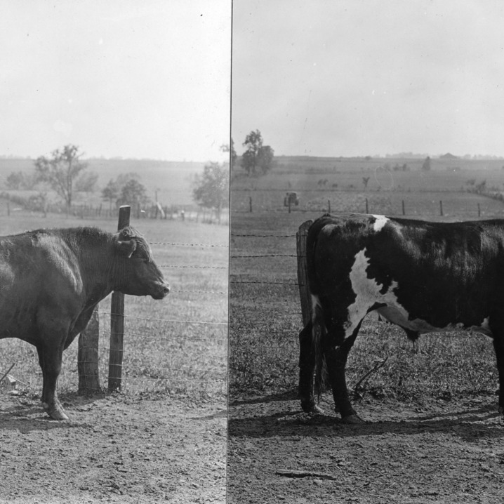 "Two photographs depicting a healthy and unhealthy cow, used in a promotional poster for the 4-H health and safety program. Left: ""Signs of Weakness, Sway Back, Poor Heart Girth."" Right: ""Signs of Strength, Straight Back, Good Heart Girth."""