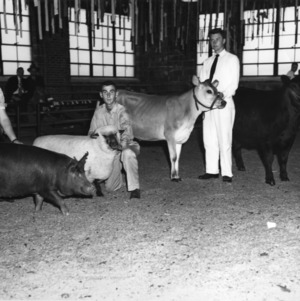 4-H club members showing livestock, a hog, a sheep, and two calves