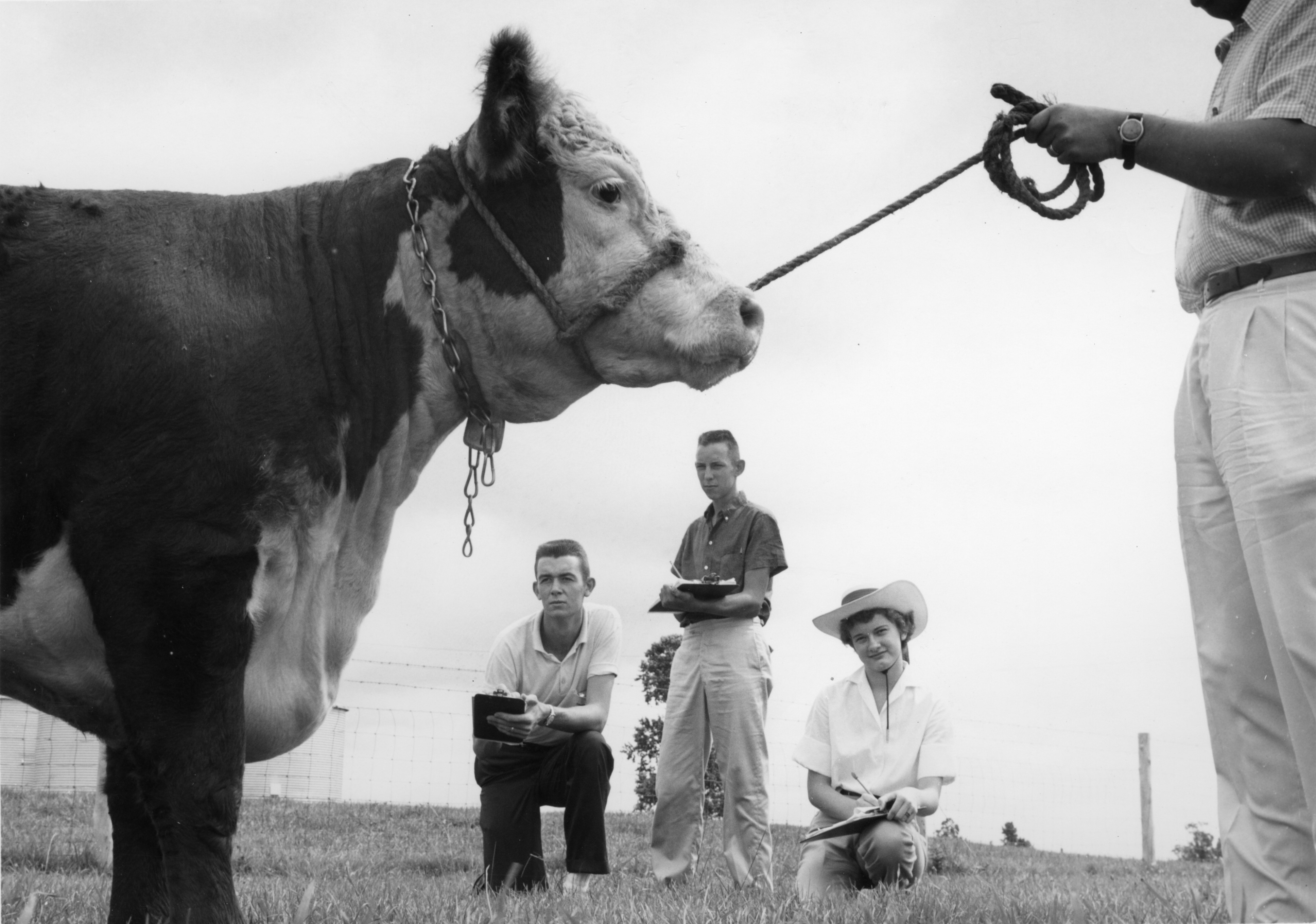 Three 4-H club members judging a calf held by a fourth unidentified person