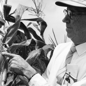 Unknown person pointing to damage on corn plant