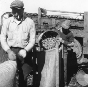 Two unidentified men filling sacks as a part of a 4-H club peanut project in Chowan County, North Carolina