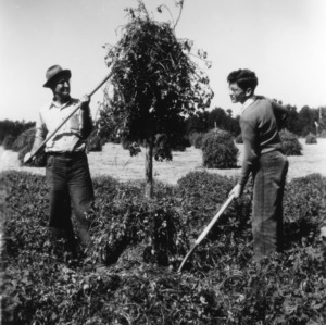 Two unidentified men harvesting their peanut crop as part of a 4-H club peanut project in Chowan County, North Carolina