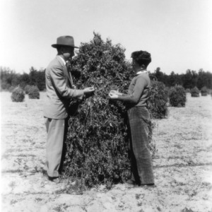 Two unidentified men examining their peanut crop as part of a 4-H club peanut project in Chowan County, North Carolina