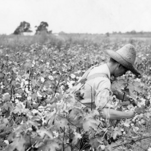 Young Ralph Mills picking cotton on his acre of 4-H club cotton