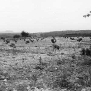 Wayne Ware peach orchard, Cleveland County, North Carolina, 1938