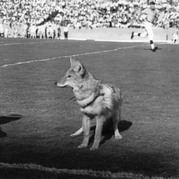 1000  images about Mr. & Mrs. Wuf on Pinterest | Wolves, Football ...