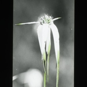 "A ""flower"" not a flower: the white bracted sedge"