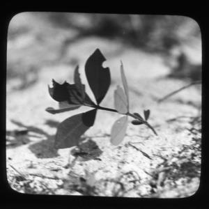 A resting wild indigo (Baptisia villosa)