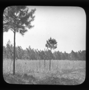 Young pines in old field