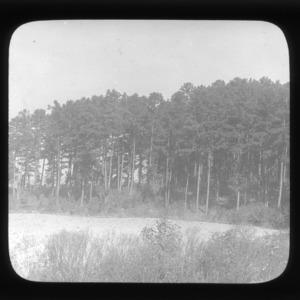 Mature pine forest at Lake Raleigh, North Carolina State University