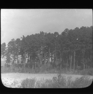 Mature pine forest at Lake Raleigh, North Carolina State University, possibly near a dam