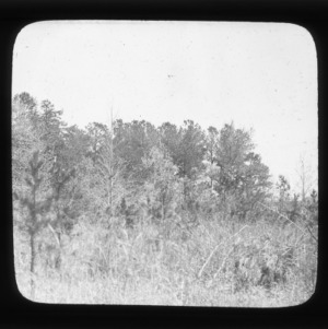 Young loblolly pines in old field, older stand in background