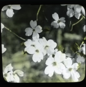 """Dogwood's """"flowers,"""" four changed leaves or bracts made white to attract insects"""